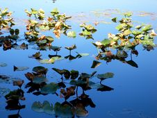 Lilly Pads In Sun And Shade Royalty Free Stock Photo