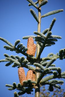 Free Pine Cones On Top Of Tree Royalty Free Stock Photos - 3398458