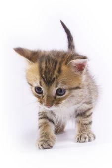 Free Little Kitten Royalty Free Stock Image - 3398676