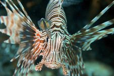 Free Lion Fish Royalty Free Stock Photos - 3399538
