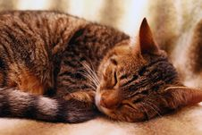 Free A Cat Sleeps Royalty Free Stock Photography - 3399677