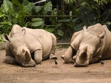 Free White Rhinoceros Royalty Free Stock Photos - 3399798