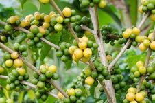 Free Coffee Beans Royalty Free Stock Image - 33906516