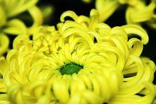 Free Chrysanthemum Royalty Free Stock Photo - 33907585