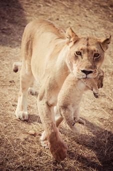 Lioness With Her Cubs In The Mouth Royalty Free Stock Photos