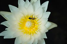 White Lotus Or Water Lily With Yellow Pollen And Bug Royalty Free Stock Photography