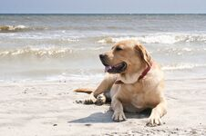 Free Yellow Labrador Laying At The Beach Royalty Free Stock Photos - 33935518