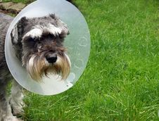 Free Schnauzer With Protective Collar Royalty Free Stock Image - 33941186