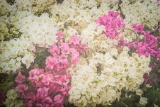 Bougainvillea Or Paper Flower Vintage Background Stock Photo