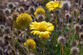 Free Wild Yellow Flowers Royalty Free Stock Photography - 33950257