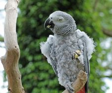 Free Grey Parrot. Royalty Free Stock Image - 33950066