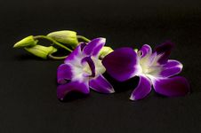 Free Beautiful Orchid Stock Photos - 33951013