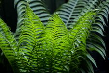 Free Bush Fern Stock Image - 33951761
