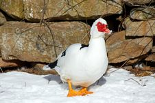 Free Muscovy Duck Royalty Free Stock Images - 33955729