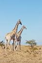 Free Giraffe Pair Stock Photos - 33960833