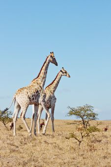 Free Giraffe Pair Stock Photos - 33960833