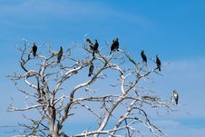 Free Cormorants Sitting On Bare Tree Stock Image - 33970181