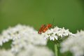 Free Red Soldier Beetle Royalty Free Stock Photography - 33986627