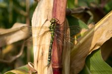 Free Big Wings Dragonfly Siting On Corn Royalty Free Stock Photos - 33988538