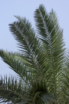 Leaves Of A Palm Tree Stock Image