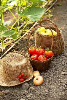 Free Freshly Harvested Vegetables Stock Images - 33998874