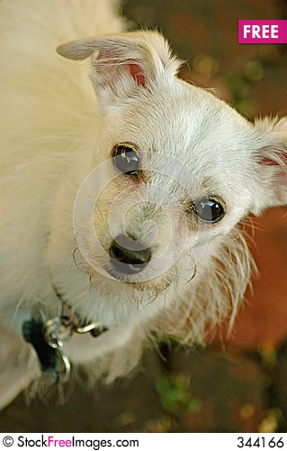 Free Minnie The Chihuahua Maltese Mix Royalty Free Stock Image ...