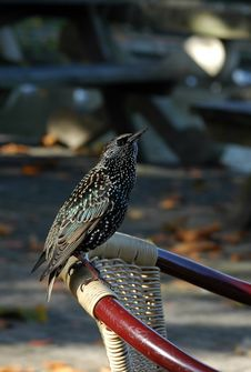 Free Starling Royalty Free Stock Image - 341046