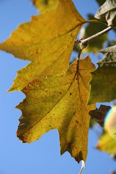 Free Oak Leaves Royalty Free Stock Photo - 342385