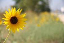 Free Lone Yellow Flower Royalty Free Stock Photography - 343117