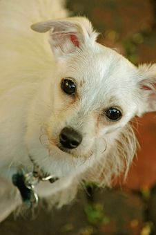 Free Minnie The Chihuahua Maltese Mix Royalty Free Stock Image - 344166