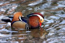 Free Colourful Duck Royalty Free Stock Photo - 344425