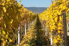 Free Autumn Wineyards Stock Image - 344471