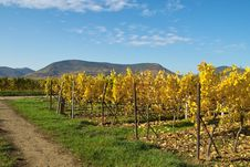Free Yellow Rows Of Grapes Stock Photography - 344472