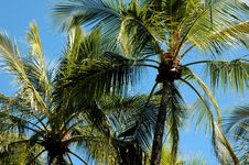 Free Palm Trees Stock Images - 345624