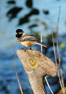 Free Chickadee Royalty Free Stock Images - 345919