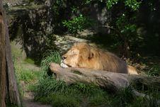 Free Lying Lion 2 Royalty Free Stock Photos - 346048