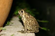 Free Sitting Frog Royalty Free Stock Images - 348149