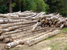 Free Birch Logs Royalty Free Stock Photos - 348528