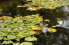 Free Water Lily Royalty Free Stock Photos - 348868