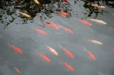 Free Red Fishes Stock Image - 348871