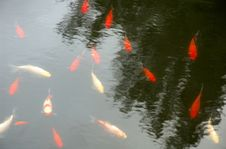 Free Red Fishes Stock Photography - 348872
