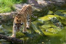 Free Tiger Approaching The Water Royalty Free Stock Photos - 349238