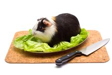 Free Guinea Pig On A Dinner Table Royalty Free Stock Photography - 3400087