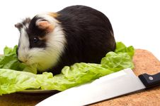 Free Guinea Pig On A Dinner Table Royalty Free Stock Photo - 3400105