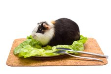 Free Guinea Pig On A Dinner Table Royalty Free Stock Image - 3400106