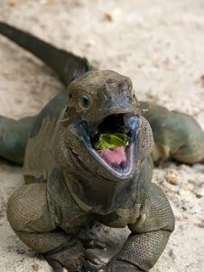 Free Rhinoceros Iguana Royalty Free Stock Image - 3400236