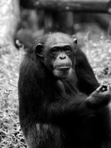 Free Chimpanzee Royalty Free Stock Image - 3400396
