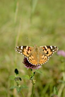 Free Painted Lady Butterfly Stock Photos - 3400923