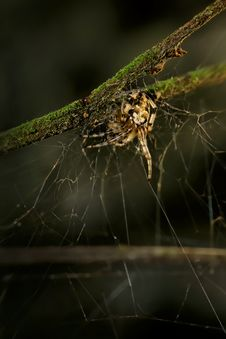Free Hunting Spider Stock Photo - 3401160