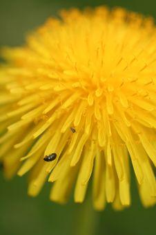 Free Dandelion Royalty Free Stock Photography - 3401247